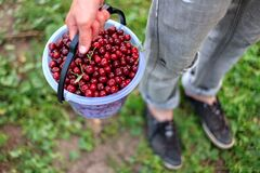 Free A Bucket Of Beautiful Juicy Ripe Cherries, A Bucket Of Collected Berries Cherry Royalty Free Stock Image - 169667956