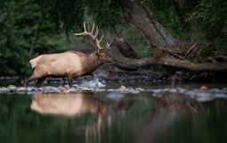 Free A Bull Elk Portrait In Autumn Stock Images - 198153074
