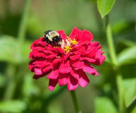 Free A Bumble Bee Feeds On A Flower. Royalty Free Stock Photo - 12778535