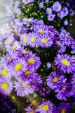 A Bunch Of Purple Ultraviolet Aster Flowers Under A Bokeh Of Sunlight Stock Photography