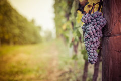 Free A Bunch Of Red Grape Before The Harvest Stock Photo - 60594410