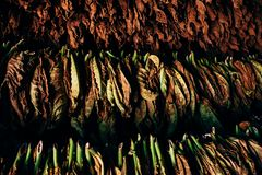 Free A Bunch Of Tobacco Leaves Hang To Dry In Vinales, Cuba. Stock Photos - 141902683