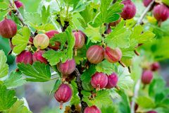 A Bush Of Gooseberries With Ripe Berries. Branch Of Gooseberries Royalty Free Stock Photos