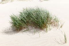 Free A Bush Of Green Grass On The Sandy Beach Royalty Free Stock Photos - 97023858