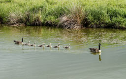 Free A Canada Goose Family Royalty Free Stock Photography - 45833987