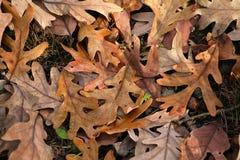 A Carpet Of Fallen, White Oak Leaves Stock Photo