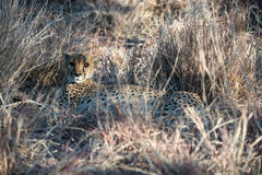 A Cheetah Is Lying And Hiding In Dry Winter Savanna Grass Stock Image