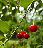 A Cherry Growing On A Tree Royalty Free Stock Photography
