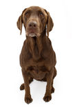 A Chocolate Labrador Retriever Dog Royalty Free Stock Photography