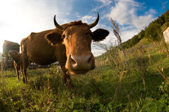 Free A Close Up Of A Cow S Head. Royalty Free Stock Photography - 11805917