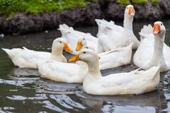 Free A Close-up Of A Flock Of White Geese And Ducks With Orange Beaks Huddled On The Water In A Pond On A Farm For Meat. Domestic Bird Royalty Free Stock Photography - 196226387