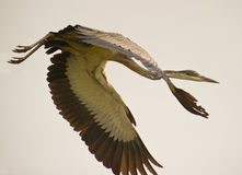 A Close-up Of A Flying Grey Heron Royalty Free Stock Images