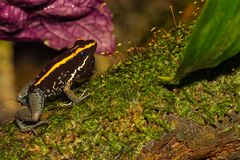 Free A Close Up Of A Golfodulcean Poison Frog Royalty Free Stock Image - 107591056