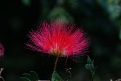Free A Close-up Of  Persian Silk Tree Flower Royalty Free Stock Photo - 106227515