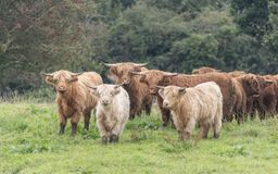 Free A Close Up Photo Of A Herd Of Highland Cows Royalty Free Stock Photos - 158577738