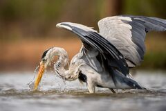 Free A Close Up Portrait Of A Grey Heron Bird Fishing In A Waterhole Royalty Free Stock Photos - 178654398