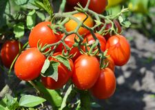 Free A Cluster Of Red Plum, Roma, Paste Tomatoes On A Tomato Plant Growing In A Vegetable Garden Promises Good Tomato Harvest Royalty Free Stock Photos - 194402578