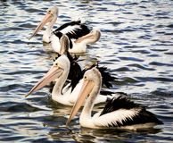 Free A Colony Of Australian Pelican Stock Image - 123518671