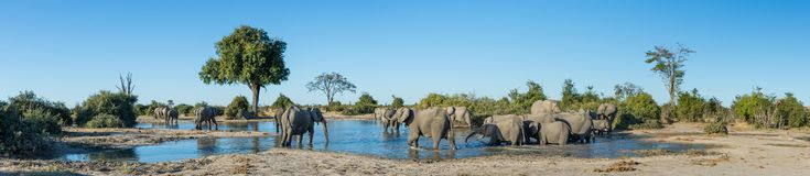 A Colour, Panorama Image Of A Herd Of Elephants, Loxodonta Africana, Bathing And Drinking At A Dwindling Waterhole In Savute, Bot Stock Photos