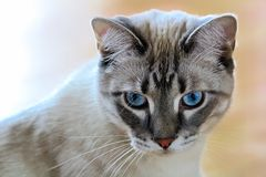 Free A Common Housecat With Vibrant Blue Eyes With A Peach Background Royalty Free Stock Photos - 130630548