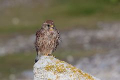 Free A Common Kestrel, Falco Tinunculus, Adult Female Perched. Royalty Free Stock Image - 107138286