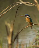 A Common Kingfisher Royalty Free Stock Photo