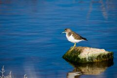 Free A Common Sandpiper Bird, Long Beak Brown And White, Resting On A Rock In Brackish Water In Malta Royalty Free Stock Photography - 189846957