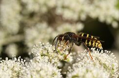 Free A Common Wasp, Vespula Vulgaris, Feeding On The Pollen Of A Flower. Stock Images - 192403014