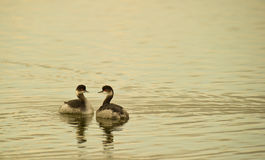 A Couple Of Black-necked Grebes Royalty Free Stock Image