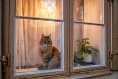 Free A Curious Orange Cat On A Window Sill In Stockholm - 2 Royalty Free Stock Photo - 159661255