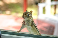 A Cute Adorable Chipmunk With Both Front Paws, Feet On The Window, Looking Inside My House.