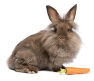 Free A Cute Chocolate Lionhead Bunny With A Carrot Stock Image - 23967101