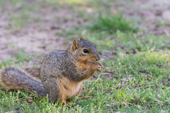 A Cute Squirrel Royalty Free Stock Image