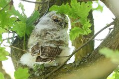 Free A Cute Tawny Owlet, Strix Aluco, Perching In An Oak Tree In Spring In The UK. Royalty Free Stock Photography - 183488957