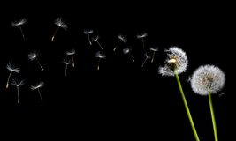 Free A Dandelion Blowing Stock Photos - 6653533