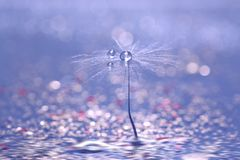 Free A Dandelion Seed With Drops Of Rose On A Blue Background With A Bokeh. Beautiful Abstraktnoe Macro. Stock Photos - 107109863
