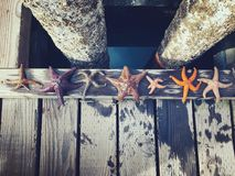 A Diverse Group Of Starfish Lined Up Along The Docks Of Comox, B Royalty Free Stock Photography
