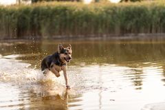 Free A Dog Runs Through The Water In A Lake. Spray Is Flying In All Directions. Dog Fun Stock Image - 167505941