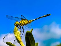 Free A Dragonfly Is An Insect Belonging To The Order Odonata, Infraorder Anisoptera. Adult Dragonflies Are Characterized By Large, Royalty Free Stock Image - 196381456