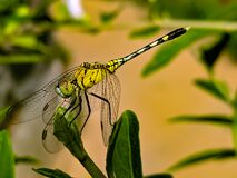 Free A Dragonfly Is An Insect Belonging To The Order Odonata, Infraorder Anisoptera. Adult Dragonflies Are Characterized By Large, Stock Photo - 196382240