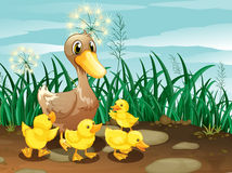 A Duck And Her Ducklings Near The Grassland Stock Images