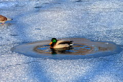 A Duck Swims In The Lake Among The Frozen Ice In Winter Royalty Free Stock Images