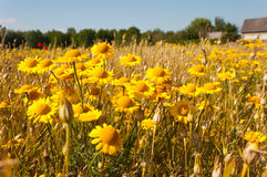 A Dutch Field Margin With Wild Flowers Stock Photography