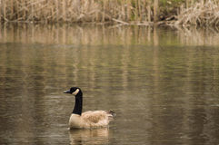 Free A Family Of Geese. Royalty Free Stock Photos - 40537068