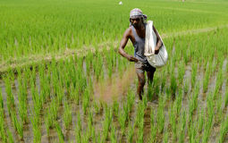 A FARM WORKER THROWS FERTILIZER IN THE PADDY FIELD Royalty Free Stock Photography