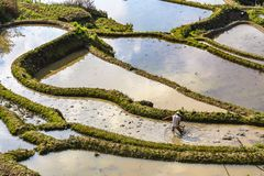 Free A Farmer Plowing And Harrowing The Rice Paddy Fields At Yuanyang Rice Terraces Stock Image - 143099251