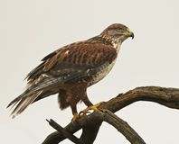 Free A Ferruginous Hawk On An Old Snag Stock Image - 111189321