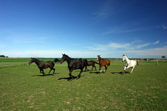 A Few Horses In A Field. Royalty Free Stock Images