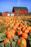 A Field Of Pumpkins In Portland Oregon. Stock Image