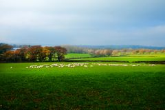A Flock Of About Sixty Sheep In A Field In The Sussex Countryside, United Kingdom Royalty Free Stock Photo